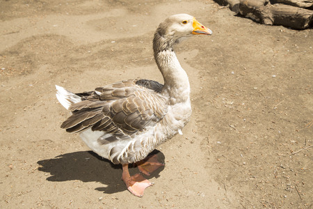 ancient times: Domestic goose standing on clay. Geese are kept as poultry for their meat, eggs, and down feathers since ancient times