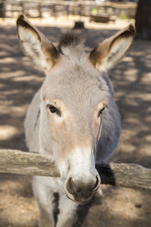working animal: Portrait of a tired donkey with its snout leaning on a fence. Donkeys have been used as a working animal for at least 5000 years