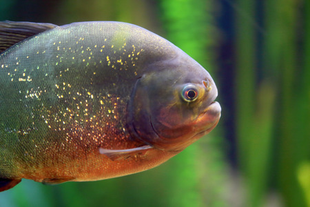 piranha: Closeup of a piranha swimming alone. Usually these fishes hunt their prey in schools. Stock Photo