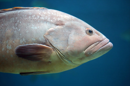 pectoral: Closeup of head and pectoral fin of a grouper. These fishes have typically a stout body and a large mouth used to swallow prey rather than biting pieces off it Stock Photo