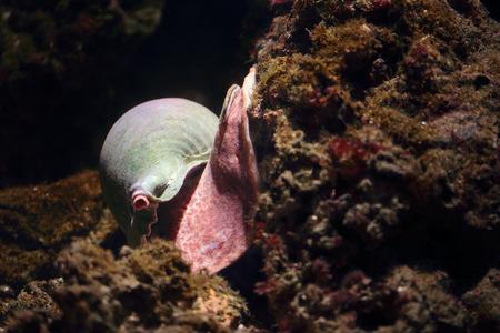 fondali marini: lumaca di mare su una roccia corallina sul fondo del mare