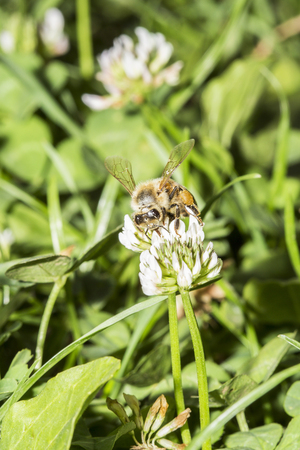 mellifera: European honeybee, Apis mellifera, collecting pollen from a trefoil flower Stock Photo