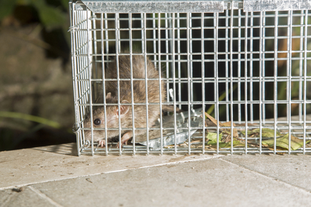 trapped: Close-up of a gray rat trapped in a steel cage