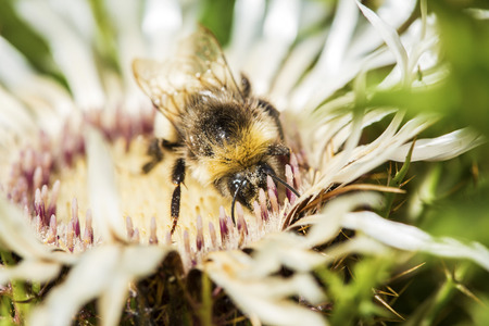bombus: Buff-tailed bumblebee, Bombus terrestris, gathering pollen from a spiny welted thistle flower. Bumble bees have round bodies covered in soft hair making them appear and feel fuzzy Stock Photo