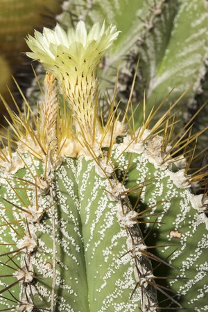 protected plant: A Parodia magnifica, Eriocactus magnificus, succulent plant with flower. This cactus is broad, with heavily ribbed, spherical to columnar, spiny and hairy stems Editorial