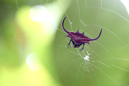 orb weaver: A red spiked orb weaver spider, Gasteracantha falcicornis, on its web. Zanzibar Island Tanzania
