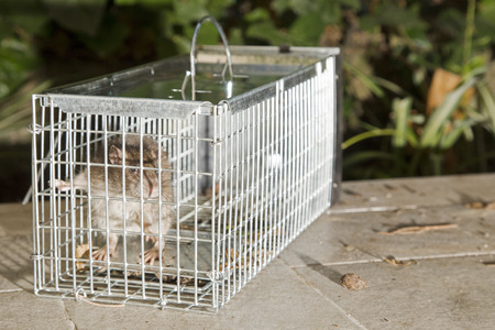 trapped: Closeup of a grey rat trapped in a metal cage Stock Photo