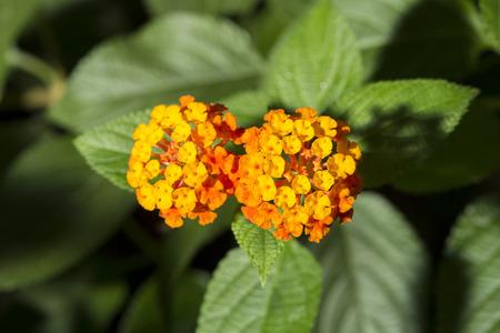 lantana camara: Closeup of two orange flowers of Lantana camara, known as tickberry and wild sage