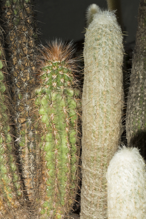cactus species: Group of cactus from different species growing together