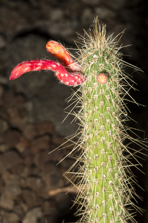 protected plant: A columnar cactus Cleistocactus smaragdiflorus in flower. This succulent plant is native to South America Stock Photo