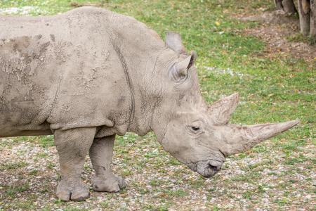 Side view of a white rhinoceros or square-lipped rhinoceros, Ceratotherium simum. These rhinos live in South Africa, Namibia, Zimbabwe, Kenya and Uganda Stock Photo