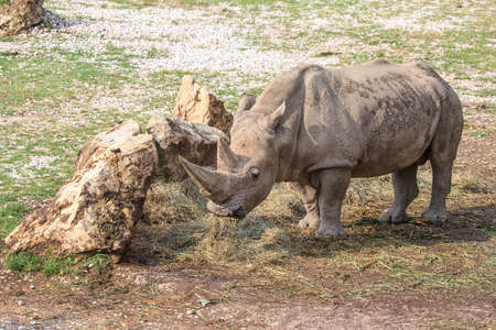 extant: A white rhinoceros or square-lipped rhinoceros, Ceratotherium simum, standing near a stone. This is the largest extant species of rhinoceros Stock Photo