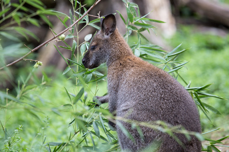 A red necked wallaby or Bennetts wallaby, Macropus rufogriseus, eating in the vegetation. The term wallaby is an informal designation generally used for species smaller than a kangaroo Stock Photo