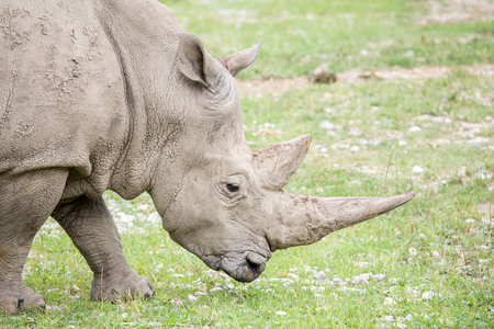 Portrait of a white rhinoceros or square-lipped rhinoceros, Ceratotherium simum, with the huge horns. Poachers kill rhinos for their prized horns
