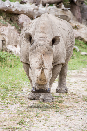 Frontal view of a white rhinoceros or square-lipped rhinoceros, Ceratotherium simum, approaching. Threat displays in males include wiping its horn on the ground Stock Photo