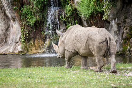 A white rhinoceros or square-lipped rhinoceros, Ceratotherium simum, approaching to a pond. Rhinos drink twice a day if water is available, but they can live four or five days without water