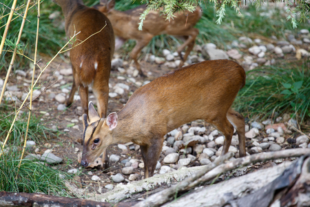 A group of Reevess muntjac, Muntiacus reevesi, grazing in the underwood. This little deer is native of southeastern China and Taiwan