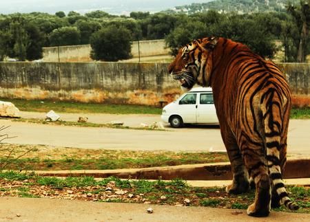 Tiger near a car in a zoo safari