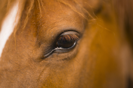 Horse eye with eyelashes close-up detail Horse head Stock Photo