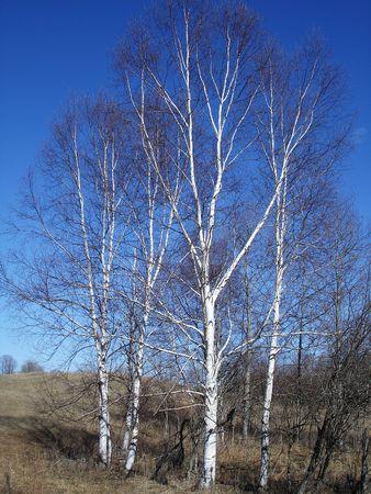 ミシガン州の白樺の木。