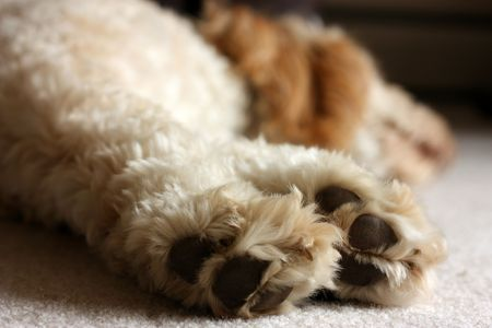 Paws of a labradoodle. Banque d'images