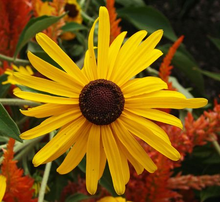 A yellow, lazy susan flower.               Stock Photo
