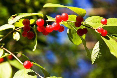 Red honeysuckle berries.