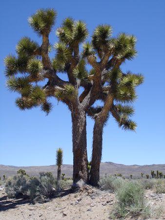 Single Joshua Tree in the desert of California.                                Stock Photo