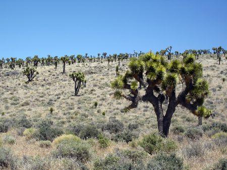 Field of Joshua Trees is the desert of California.