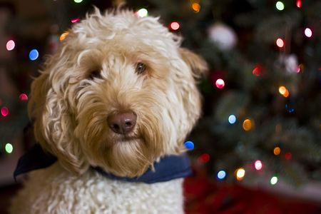 Labradoodle infront of a Christmas tree. Stock Photo