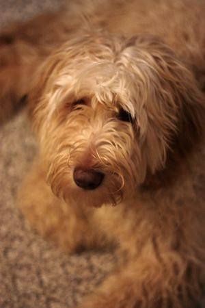 Labradoodle resting on the floor.