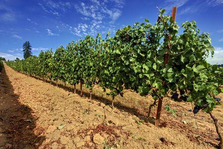 A grape vine row at an Oregon vineyard.