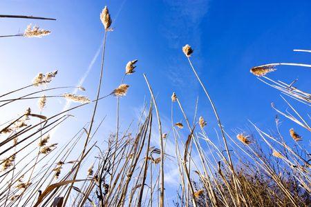 Reeds reaching towards a beautiful blue sky