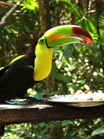Toucan in Belize