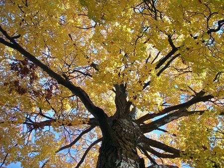 A maple tree shows its beautiful yellow leaves on a beautiful fall day in Michigan                                Stock Photo
