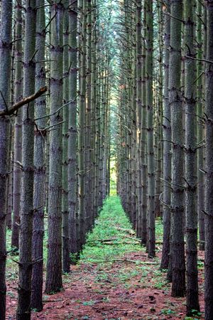 Row of a planted pine tree forest
