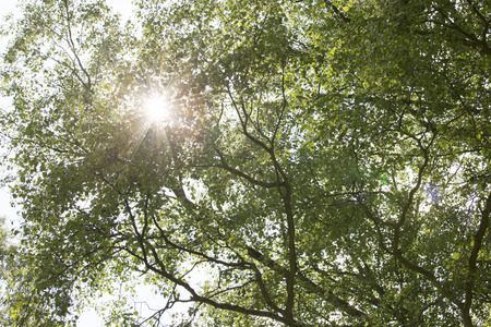 shining through: Tree with sunlight shining through the leafs. Stock Photo
