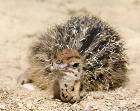 an ostrich: Baby Ostrich