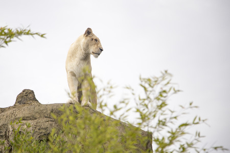 at white: White lioness