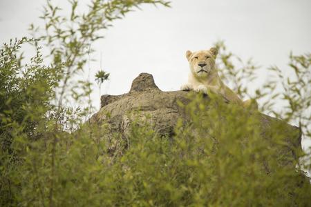 lioness: Beautiful white lioness Stock Photo