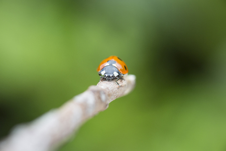 lady bird: Lady bird on a twig