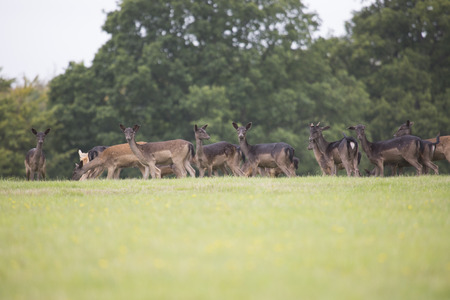rein: Group of deer in a large field