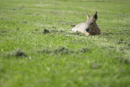 Patagonian mara laying on the grass on a sunny day