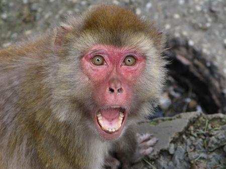 rabies: Snarling Monkey