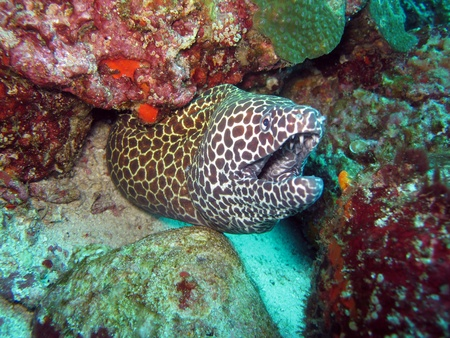 moray: Spotted Moray Eel