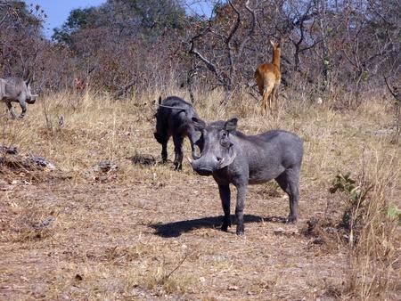 bush hog: Warthog salvaje