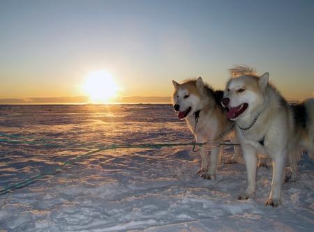 tra�neau: Huskies du Groenland