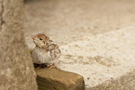 kuropatwa: Jednodniowe francuski Partridge Chick