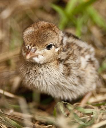kuropatwa: Jednodniowe francuskiej Partridge Chick