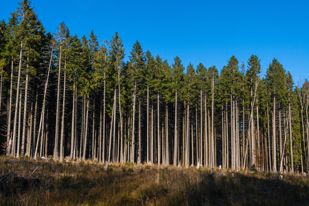 A conifer forest industrially exploited in Vosges, France Stock Photo